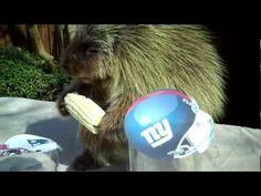 Porcupine Picks Super Bowl Winner
