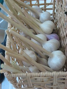 How to dry garlic, chamomile, onions, and cilantro for use in your kitchen later!