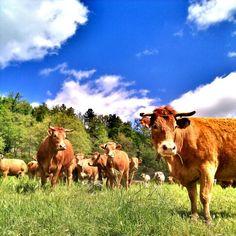 #osona #vaques #vacas