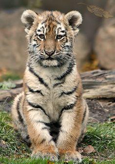 Tiger cub...B. Lohse