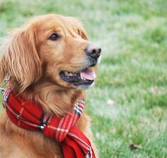 Stylish dog with a red plaid scarf
