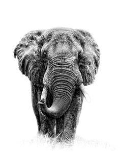 Elefant by Leo Walter / Photo Elephant, Elephant Pictures, Elephants Photos, Elephant Canvas, Elephant Love, Elephant Photography, Art Photography Portrait, Animal Photography, African Elephant