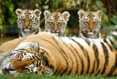 Save Our Tigers!