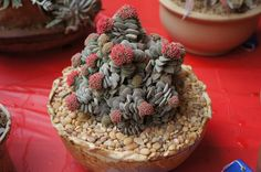 Shared from Cactus and Succulent Society of America and seen at the San Diego Winter Cactus & Succulent Show.  Crassula 'Morgan's Beauty'