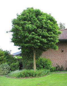 architectural plants robinia pseudoacacia 39 umbraculifera 39 lozza 39 s garden tree for garden. Black Bedroom Furniture Sets. Home Design Ideas