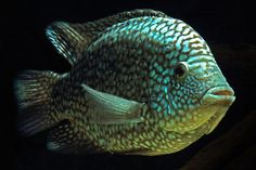 "Herichthys carpintis ""Escondido"", also known as the Pearl-scaled Cichlid, hailing from the Americas, is often confused with the Texas Cichlid (Herichthys cyanoguttatum). The carpintis is, by nature, a territorial and aggressive fish. Do not expect to keep it in a community tank without casualties. canon photography Kevin Dickinson fine art photography,  buy fish photograph, buy fish art"