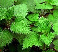 Pokrzywa zwyczajna- rośliny lecznicze w ogrodzie