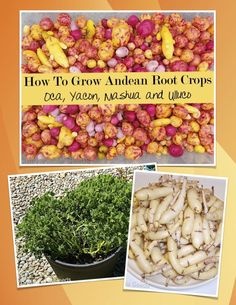 Go beyond the potato with these unique Andean root vegetables. A comprehensive guide to growing these unusual edibles.