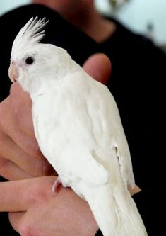 Albino Cockatiel..I've had several and when you work them, they can be so sweet, smart and rewarding!
