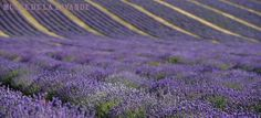 After driving through Mont Ventoux and seeing the lavender growing, the museum in Coustellet is worth a visit. Provence, Aop, Lavander, Flora, Tours, France, Holidays, Nice, Holidays Events