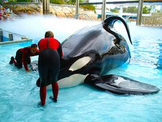 This makes me want to be a shamu trainer again...