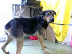DEVORE,CA. EUTH LIST. 11/12/17. Amos ID#A684869. 4 yr. old male German Shepherd/Rottweiler mix. Rescue only, possible fear biter. Arrived 11/05/17.