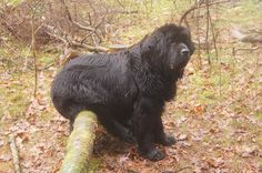 Clearly indicating that a Newfie can get comfortable just about anywhere!