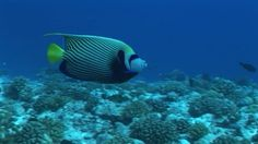 Emperor Angelfish, Striped (Pattern), Rangiroa, South Pacific, Tropical Fish, Coral Reef, Sea Life, Swimming, 1 (Quantity), No People, Stock Footage,