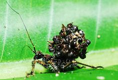 Assassin Bug Carries the Exoskeletons of Its Victims on Its Back