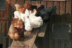 Chicken Ladder
