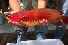 Asian Arowana  www.pinterest.com/knowdafish