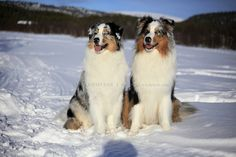 What's better than an Aussie in the snow? TWO Aussies in the snow. #australianshepherd