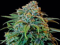 theganjatrain:  herbmedication:  marijuana stoner  cbd kush weed...