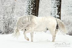 Stunning White Horse in the Snow.