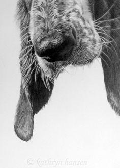 Basset Hound print from an original graphite by kathrynhansenart, $12.00