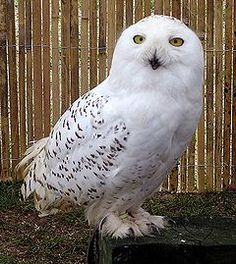 Snowy.owl.overall.arp.750pix.jpg