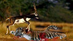 10 CRAZIEST Animal Fights Caught On Camera - Most Amazing Wild Animal Hu...