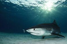 Diving with tiger sharks, Tiger Beach, Grand Bahama via Stuart's Cove Dive Bahamas or Shark Diving, Reef Shark, Scuba Diving, Whale Sharks, Scuba Travel, Nurse Shark, Underwater Photographer, Hammerhead Shark, Big Animals