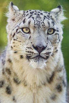 Portrait of a cute snow leopard (by Tambako the Jaguar
