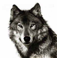 wolf face <3 tattoo idea?