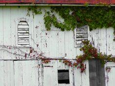 Farmstead Ivy