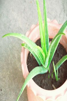 Aloe Vera is one of the best proven medicinal and cosmetic herbs. And have you ever seen how great Aloe Vera looks on a window sill? Plantar Aloe Vera, What Is Aloe Vera, Poisonous Plants, Plant Images, Plant Information, Garden Nursery, Garden Care, Plant Care, Planting Succulents