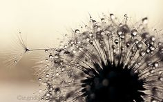 Dandelion photography dandelion wall art silver dandelion