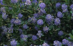 Victoria Shrub - California Lilac- Evergreen Shrub with Spring blooms Garden Shrubs, Landscaping Plants, Front Yard Landscaping, California Lilac, California Native Plants, Plants That Attract Butterflies, Evergreen Bush, Drought Tolerant Landscape, Hummingbird Garden