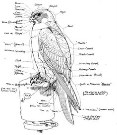 """The words """"hawking"""" and """"hawker"""" have become used so much to mean petty traveling traders, that the terms """"falconer"""" and """"falconry"""" now apply to all use of trained birds of prey to catch game. Birds Of Prey, Eagle Drawing, Drawing Birds, Peregrine Falcon, Animal Anatomy, Sport Of Kings, Bird Wings, Nature Journal, Bird Art"""