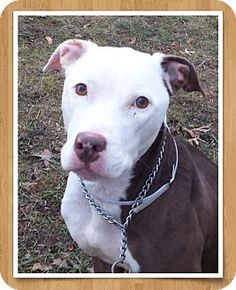 Ridgewood, NY - American Pit Bull Terrier Mix. Meet Silva a Dog for Adoption.