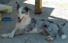 Zelda is an adoptable Australian Shepherd Dog in Boone, NC. Zelda Age: 1 Year 7 Months Old Gender: Spayed Female Breed: Australian Shepherd / Border Collie Weight: Unknown Zelda is our famous Post Off...