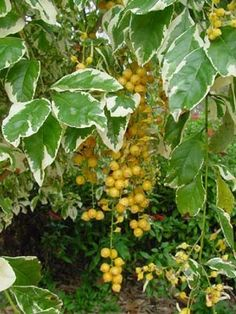 Duranta repens [erecta?] variegata