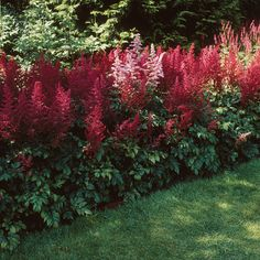 Astilbe-arendsii-Fanal, zone 3, 60cm, carmine red flowers on spikes, dark reddish green foliage.
