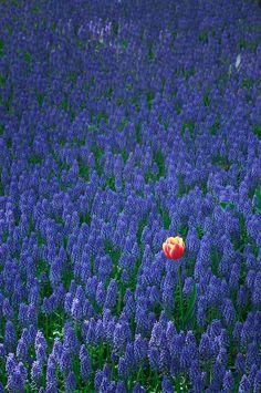 Tulip, Kiso Sansen National Government Park, Gifu, Japan... Emphasis