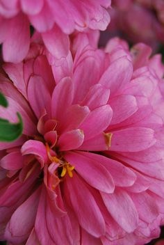 zinnia Annual that comes in many colors. They are beautiful
