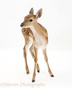 Fallow Deer fawn More