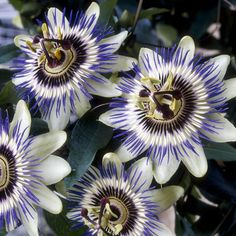 Passiflora Edulis is the common hardy edible passion fruit vine. A self clinging climbing plant which will grow up to 3m each year but will die back to root level in winter, not unlike a perennial plant. The giant exotic flowers are abundant from May to O