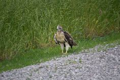Young hawk still needing to learn to fly.