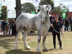 Shire Horse! DAPPLE
