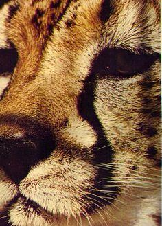 Cheetah Conservation Fund www.cheetah.org