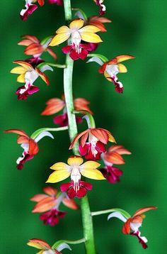 Orchid by nobuflickr, via Flickr