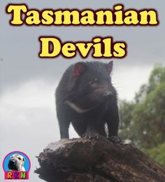 Tasmanian Devils This informative and dynamic PowerPoint presentation illustrates and explains the Tasmanian devils'...  * Appearance * Habitats * Diet and eating habits * Senses * Dens * Dangers and threats * Life cycle * Social life * Personality * Behavior * Devil facial tumor disease * A few fun facts, and much more - It also includes a few higher-level thinking writing activities. by Ryan Nygren (photo attribution link  https://www.flickr.com/photos/76526364@N06/8583695018