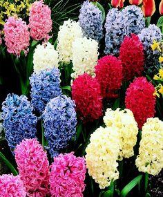 Hyacinth Bedding Mixture - Hyacinths - Flower Bulbs Index