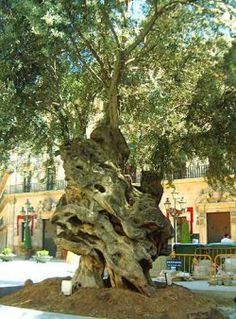 This is the oldest olive tree in Palma - You either love olives or hate them…